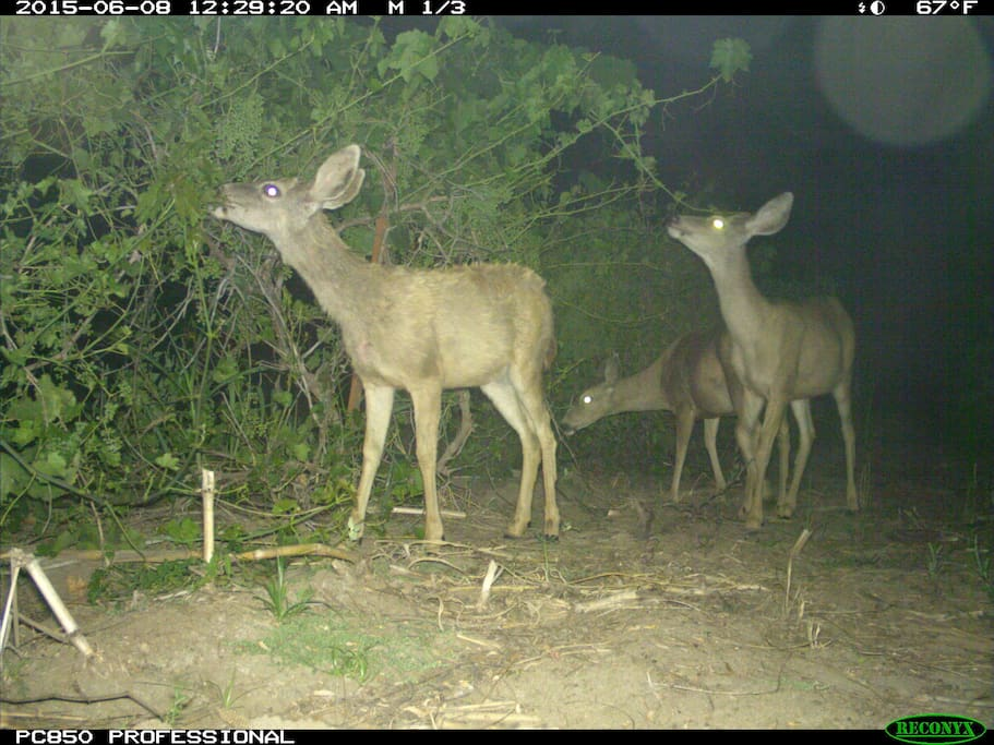 At ten pm they come and eat my grape vines. I got all these pictures with my wildlife camera.
