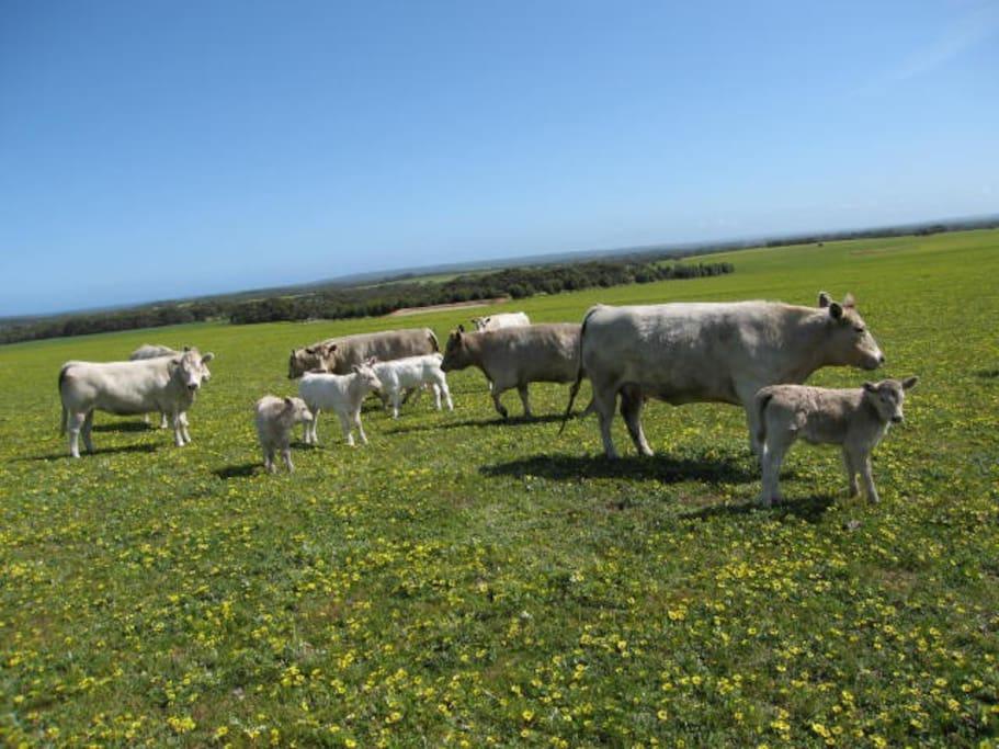 Murray Grey Cattle on the farm