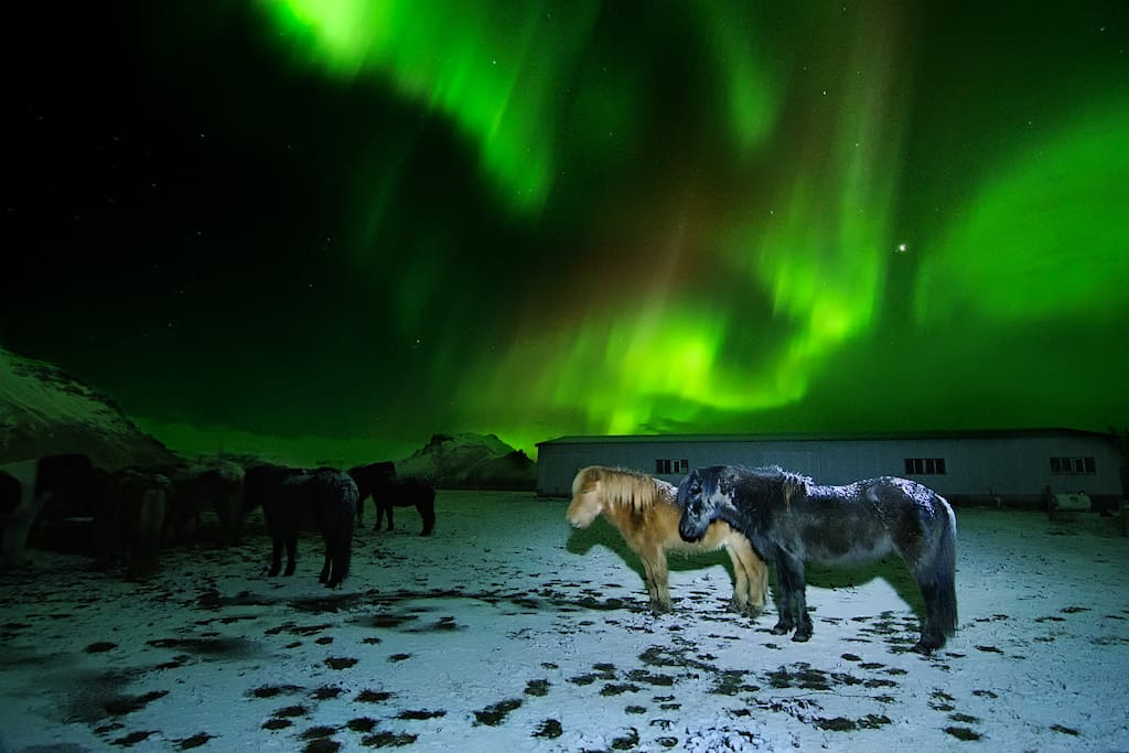 My horses in front of the northern lights