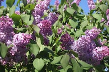 Lilacs abound in our yard in May