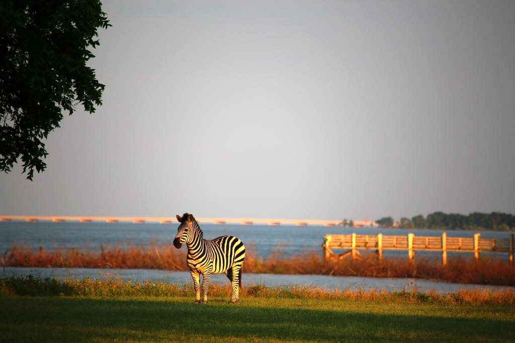 One of the zebras in front of the Lodge, before one of our two piers