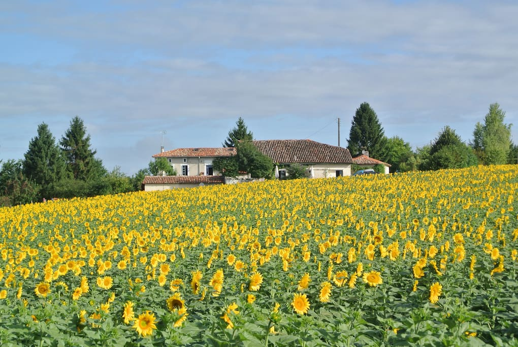 Chez Sarrazin - surrounded by sunflowers summer 2015