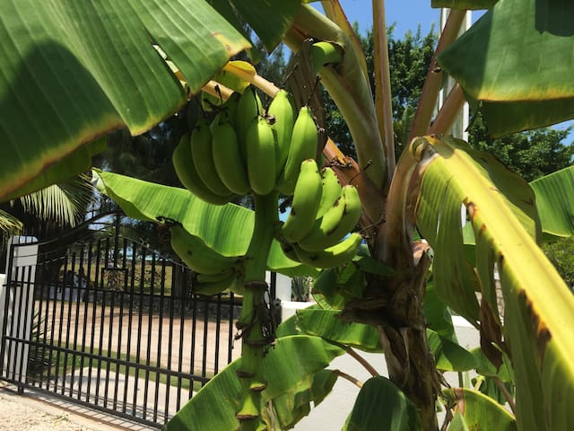 BANANA TREES AT ENTRANCE