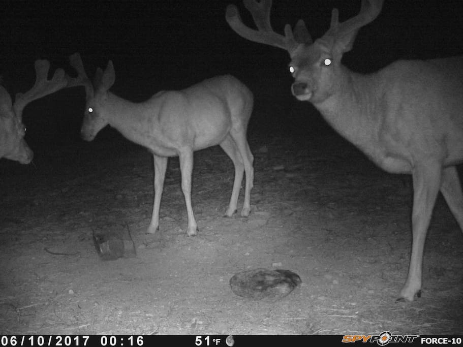 Three bucks caught on the game camera coming by for some salt.