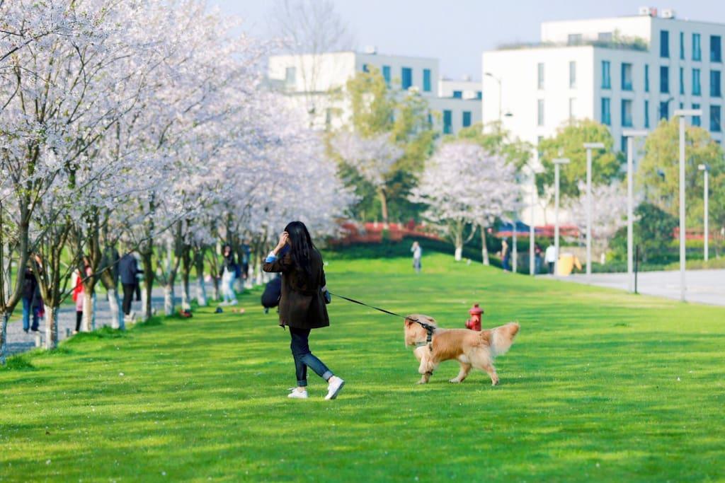 樱花时节,从对面的文化艺术中心望过来