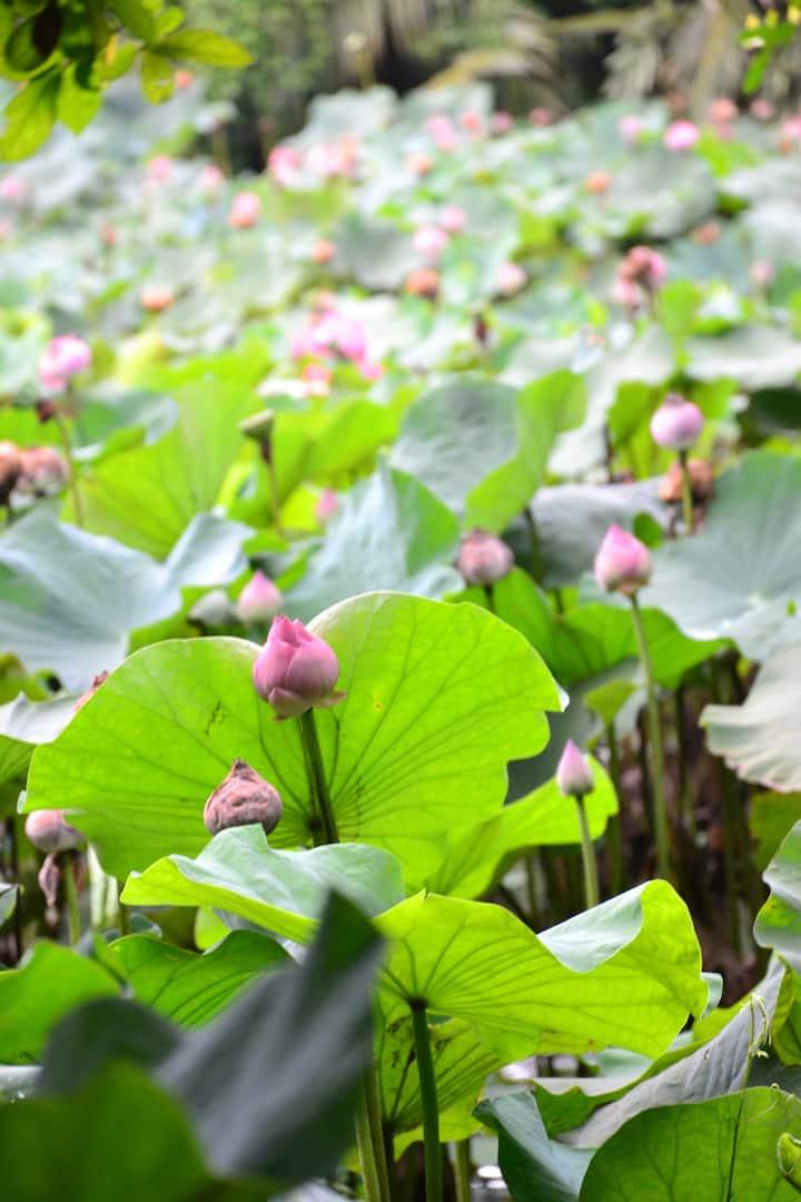 Lotus pond nearby