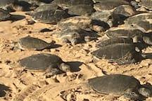 Turtles at Ho'okipa Beach Park