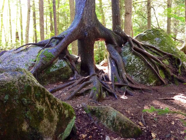 Sculptural tree roots, along nearby Auger Falls hike