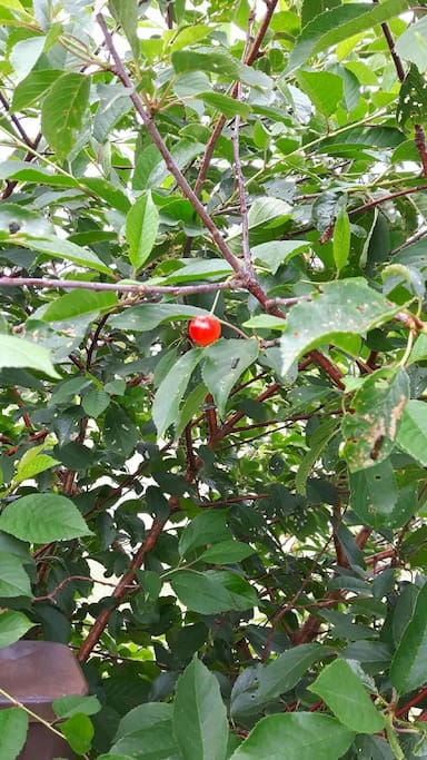 Enjoy the fruit from wild cherry trees in my yard.