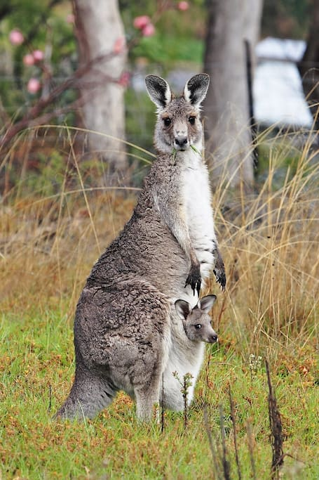 Kangaroos in the wild may be viewed all day a 5 minute walk or 2 minute drive from the Valley House