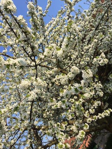 Le cerisier du jardin dans sa robe printanière.