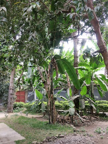 Our lush and green garden is full of banana trees