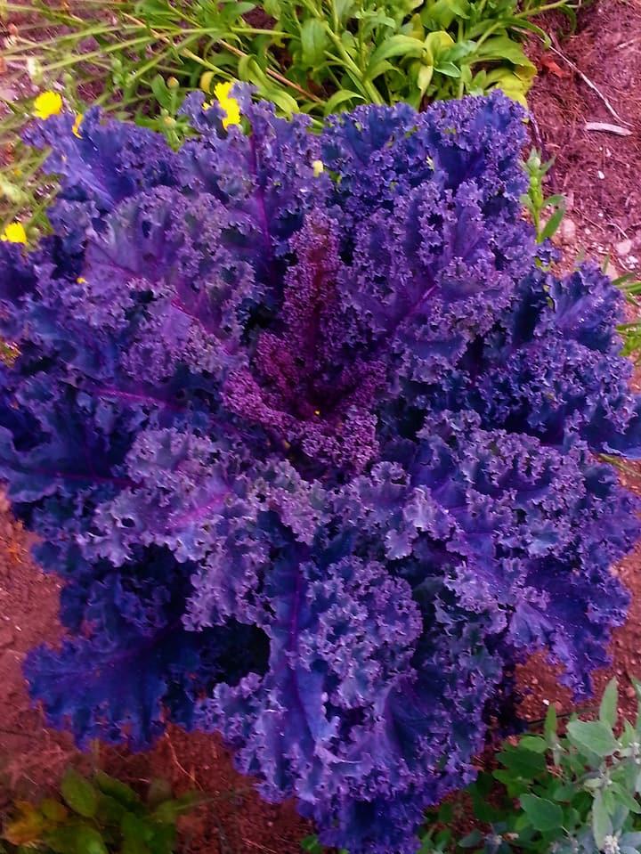 Blue Kale
