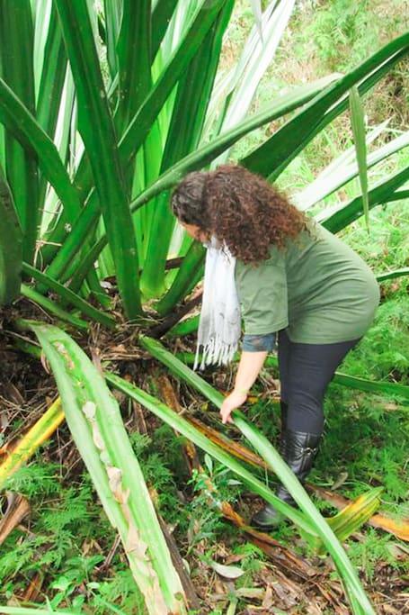 Podando o agave para extração das fibras