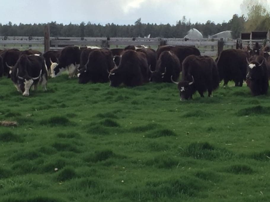 Yaks mowing down the pasture