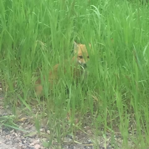 Curious fox kit.