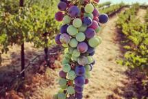 Papillon Cellars - The Vineyard