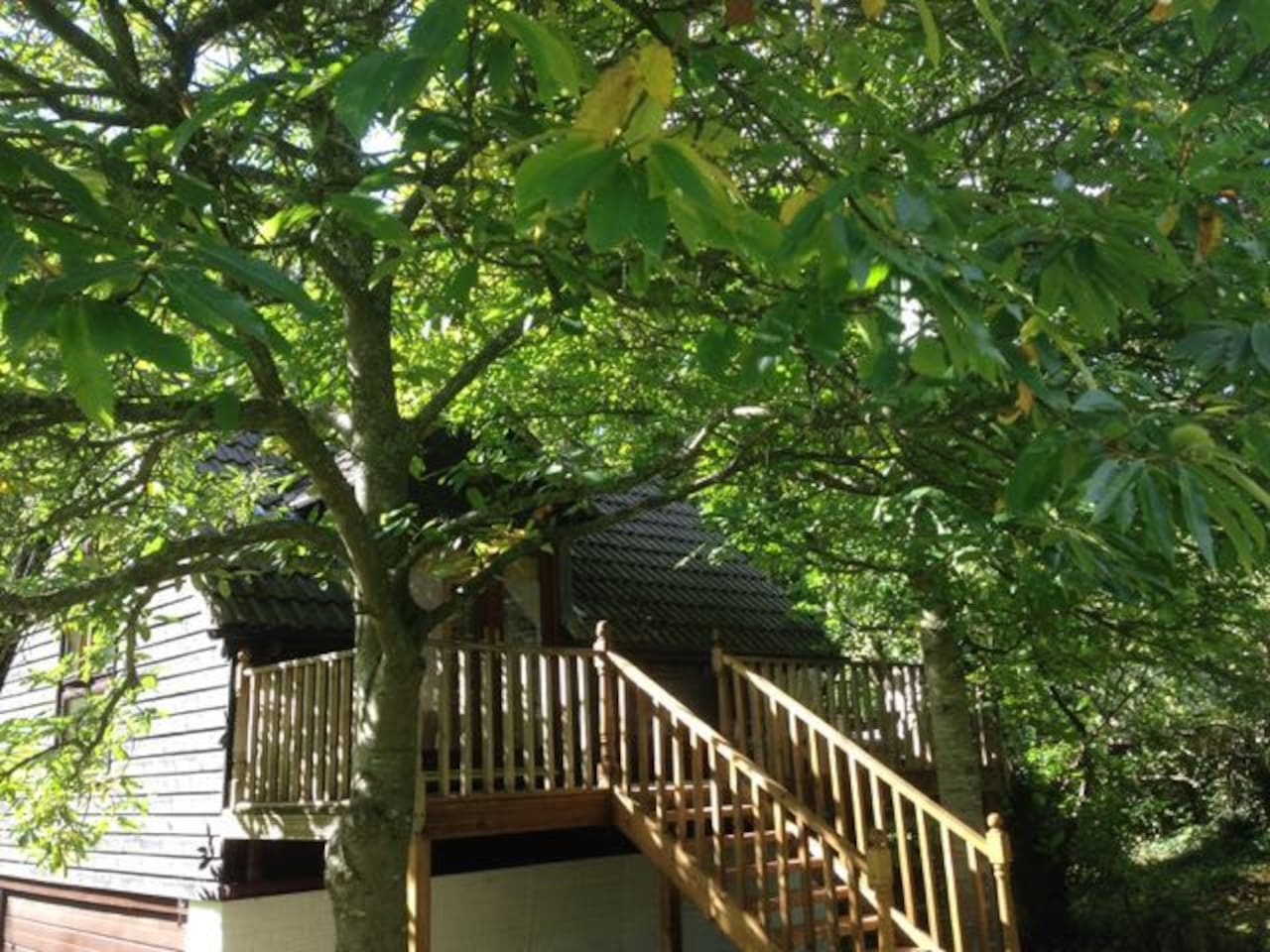 Sweet Chestnut Tree.   Steps Leading To Front Door