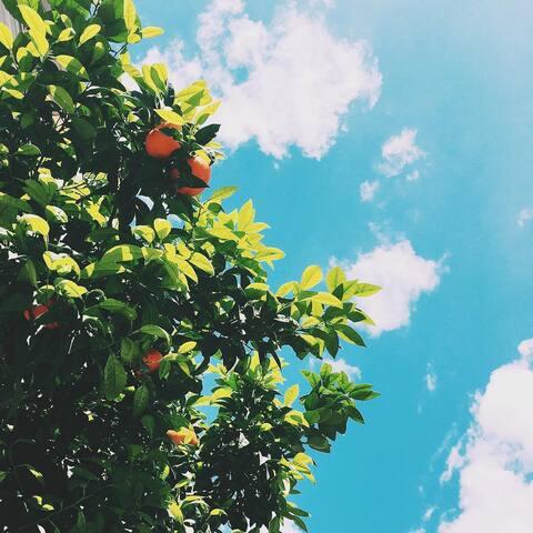 Orange trees on the way to the metro