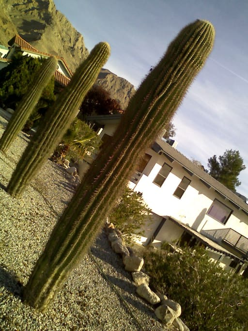 These cacti are the young ones, only about 70 years old.