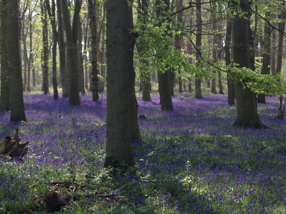 Bluebell woods in the village