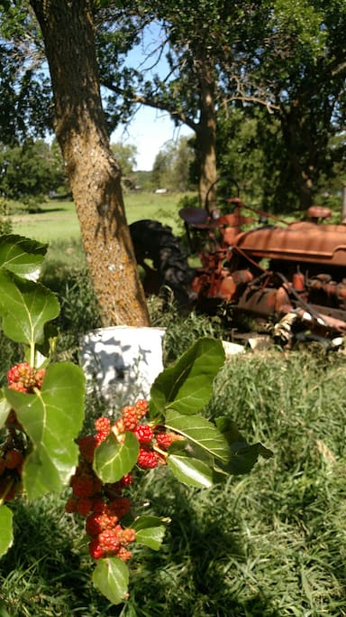 Mulberry tree and tractor