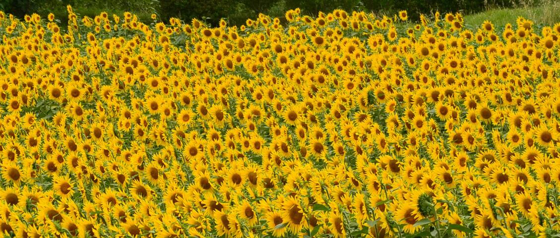 If you're here in July, you'll see fields and fields of these gorgeous sunflowers all around this area.