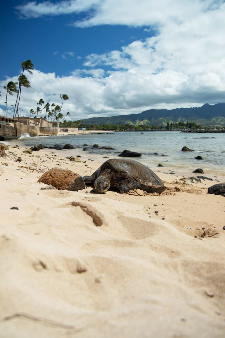 See sun-bathing 'honu' sea turtles.