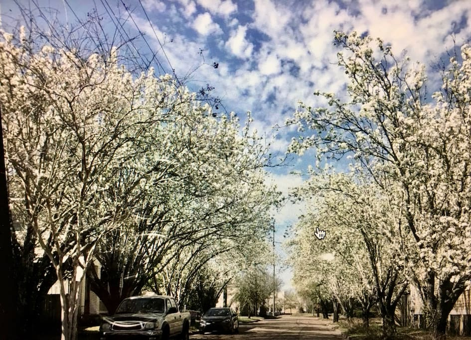 Our Street in the Spring - Bradford Pear trees lining entrance in bloom