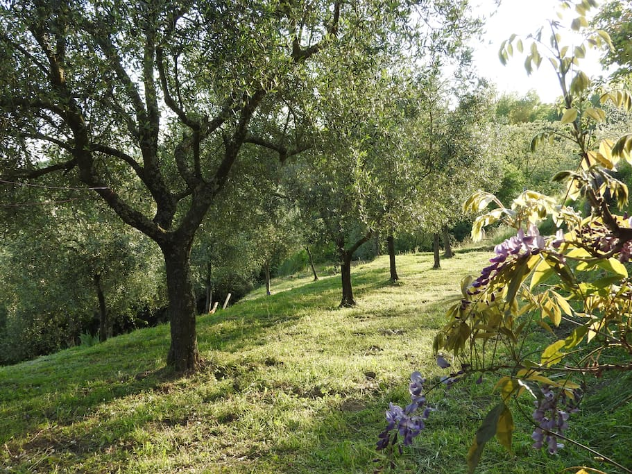 Olive trees in the extensive garden