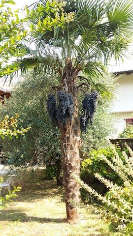 Palma e ulivi del giardino