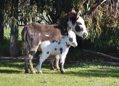 Malakai Alpaca & Miniature Donkey Farm Stays
