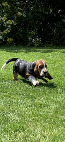 Berkeley my Basset pup will also meet and greet guests to the house- here he is having a play in the garden