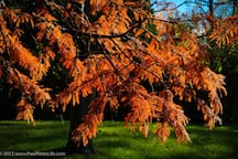 Our backyard redwood tree at the height of its autumn color. Yes, a redwood in Ohio.