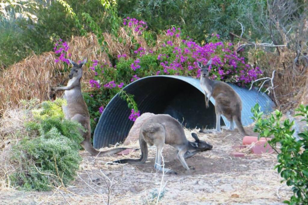 Kangaroos in the strret