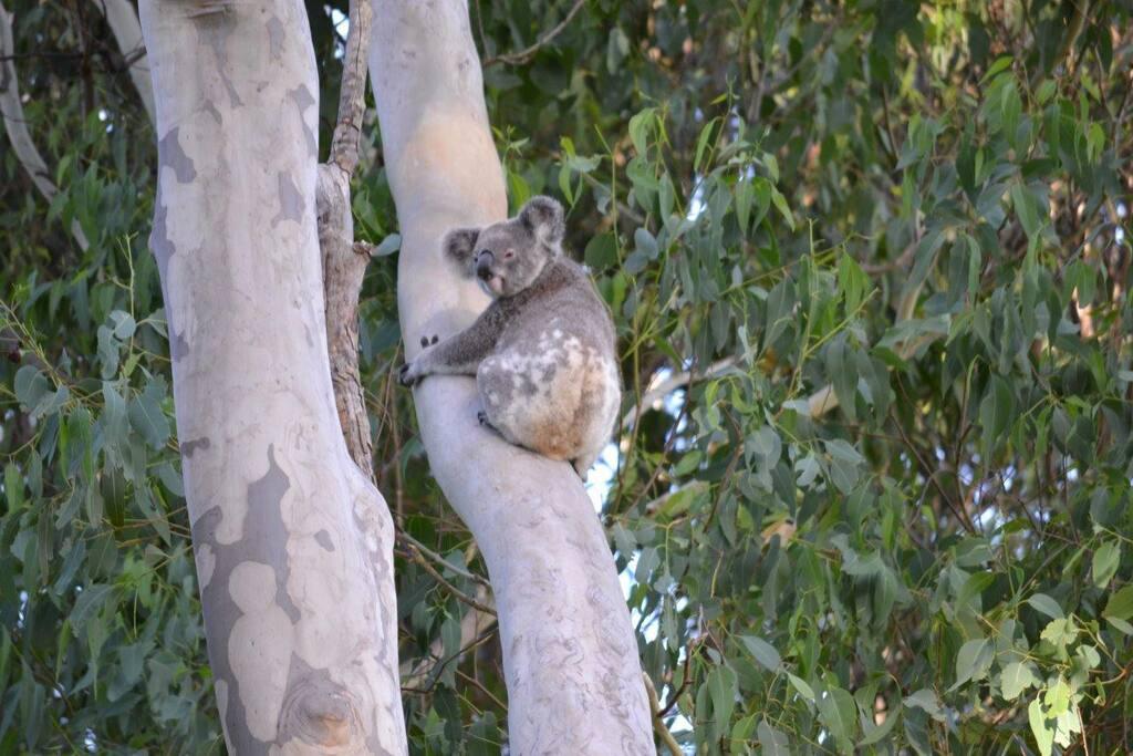 Koala in adjacent gum trees