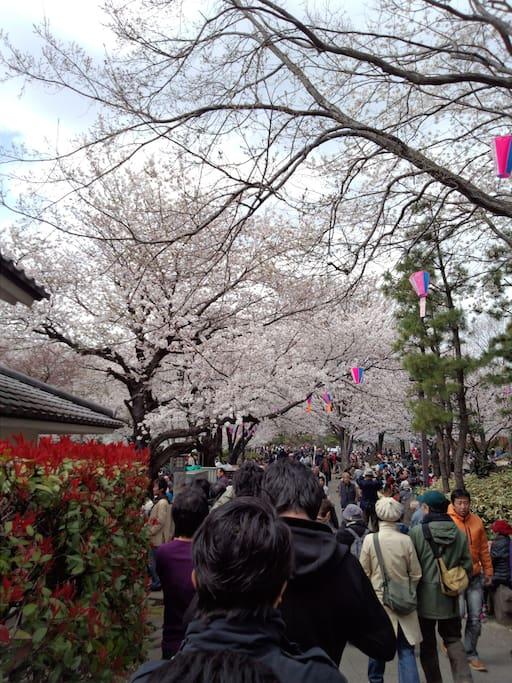 桜の季節は毎年楽しみです。