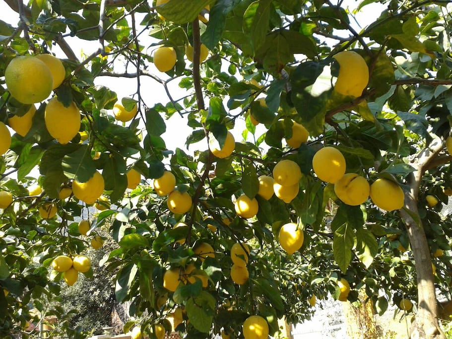 Scent of lemon trees in the garden around the house