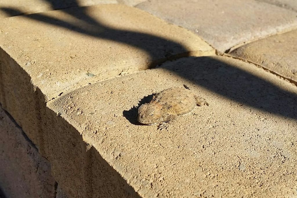 Resident Horned Lizard (horned toad) sunning himself on the front steps - will you see him when you visit?