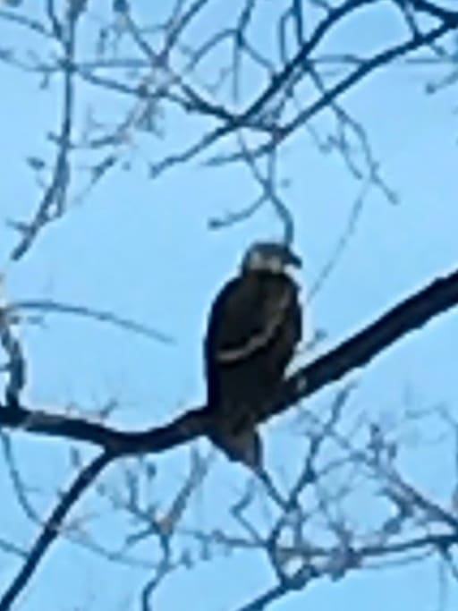 We had a family of bald eagles visiting this winter for a few weeks while the juveniles were learning to fish.