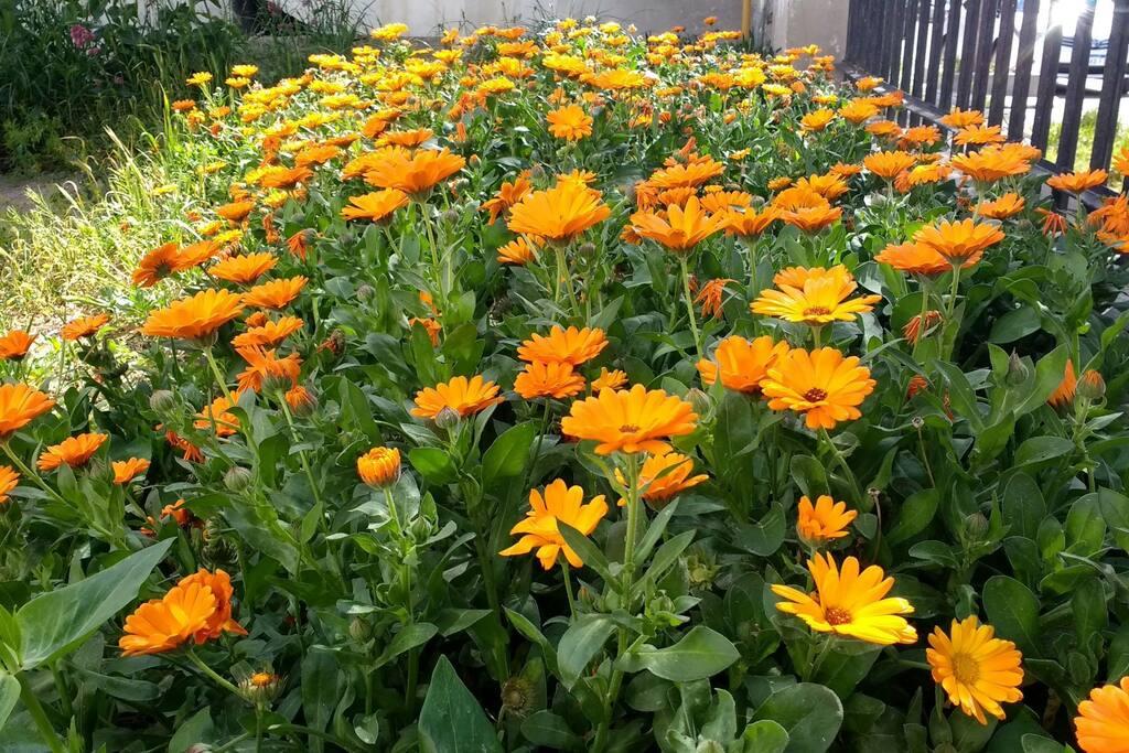 las caléndulas de nuestro jardín. our garden full of blossoms.