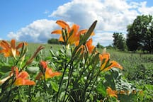 Tiger lillies by the house and front hillside.