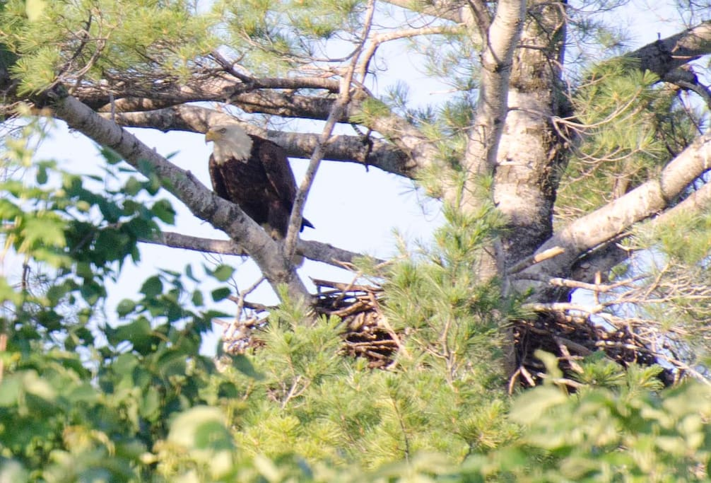 Look closely and you may just see this beautiful Bald Eagle