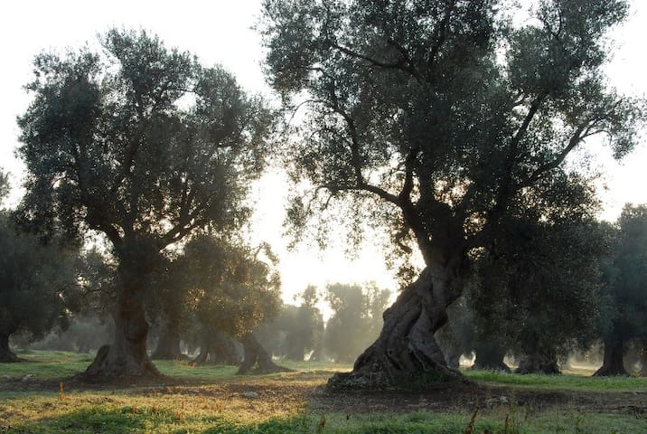Road of ancient olive tree