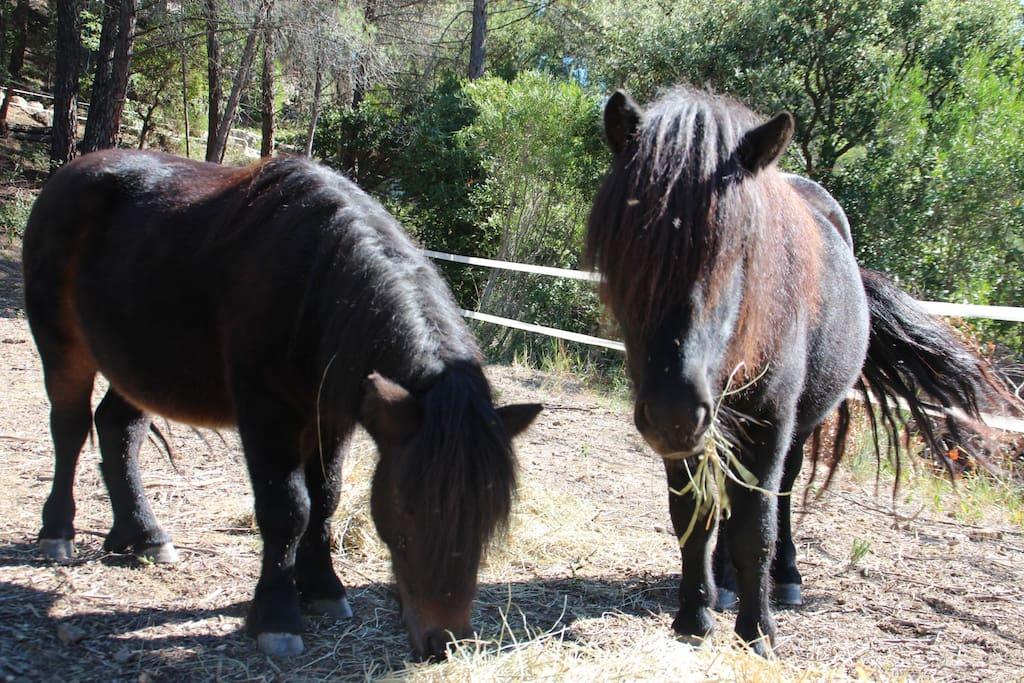 Los ponys, unos de nuestros animales mas preciados.