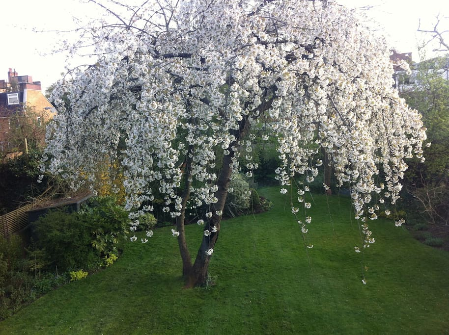 The view from the living room. Cherry tree in the large garden.