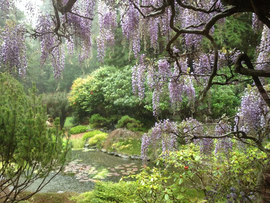 Springtime wisteria on a rainy day by the pond