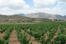 Vineyards near the villa