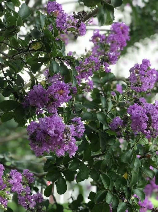 Right outside your window, you will have a beautiful view of our purple crepe myrtles. We have four crepe myrtles around the property - two purples and two crimson reds.