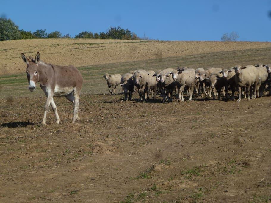 Schaapskudde sheep herd Schaf-Herde